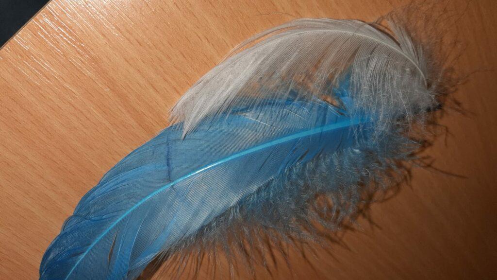 Foto weisse und blaue Feder.